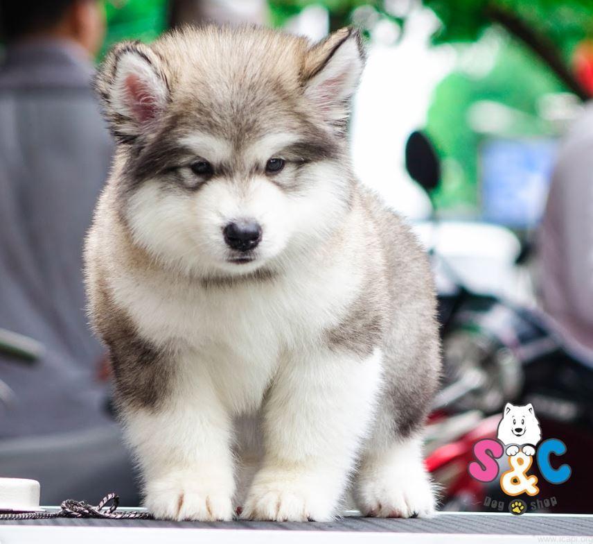 chó alaska bị parvo