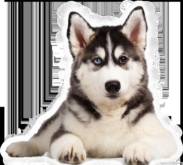chó alaska đẹp nhất thế giới