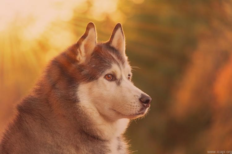 chó alaska dòng đại