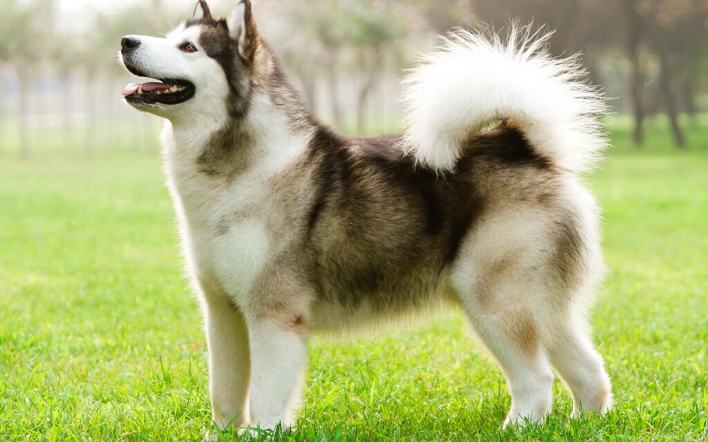 chó alaska giá 5 triệu