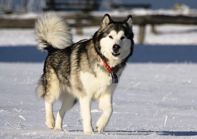 chó alaska bị thiếu canxi
