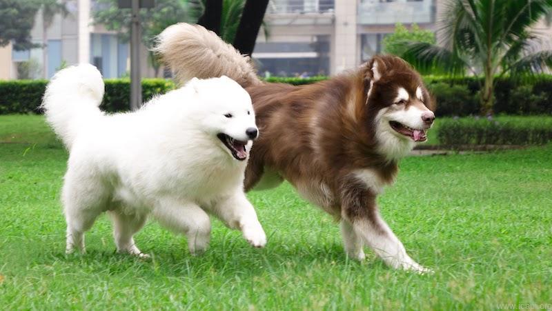 giá chó alaska 1 tháng tuổi
