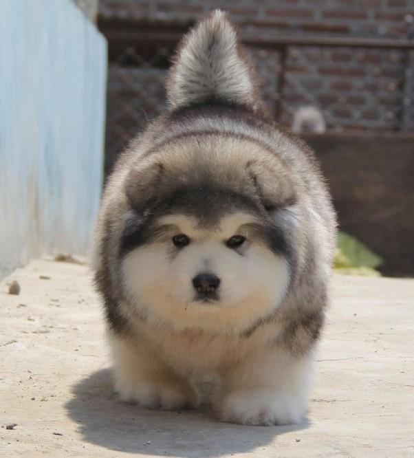 chó alaska bao nhiêu một con