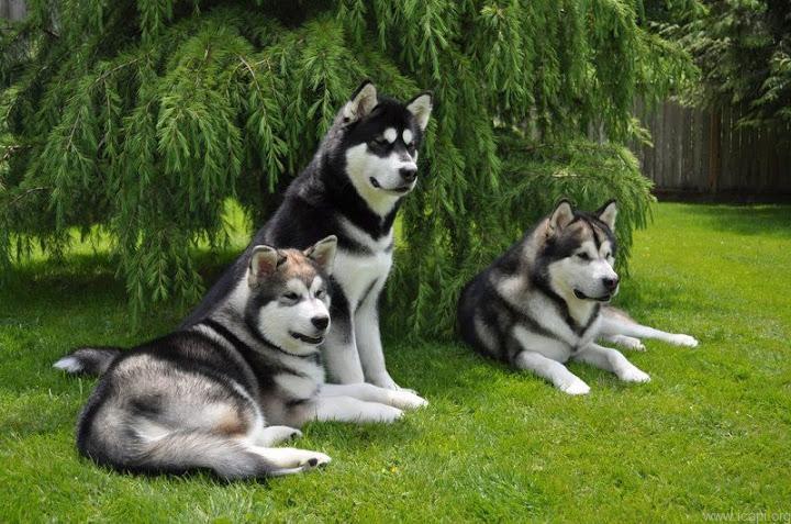 chó alaska nguồn gốc