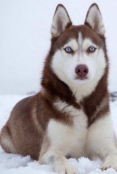 mua chó alaska 1 tháng tuổi