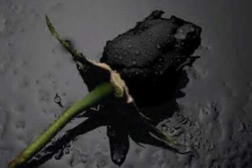 hoa hồng đen tượng trưng cho điều gì