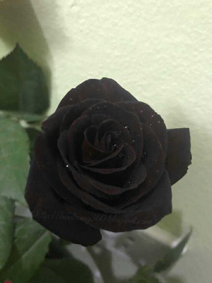 hoa hồng đen ý nghĩa
