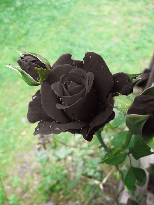 thuyết minh về hoa hồng