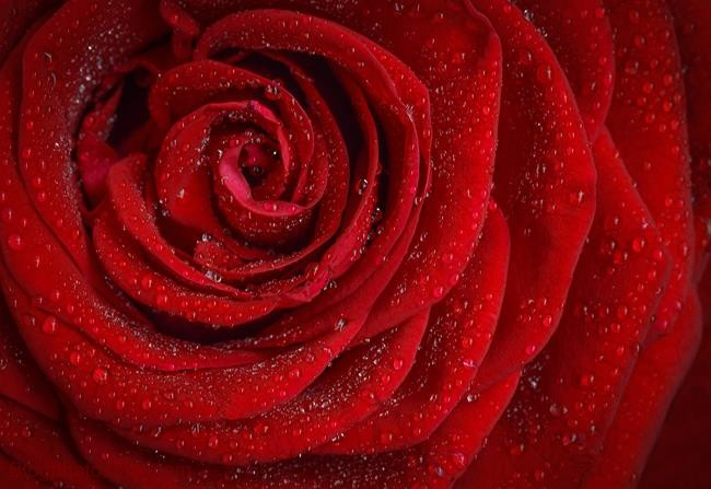 hình ảnh hoa hồng ngày 20/10