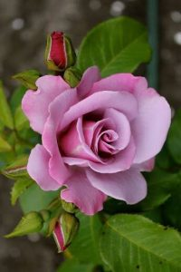 hình ảnh hoa hồng có máu