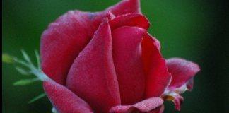 ảnh hoa hồng hình trái tim