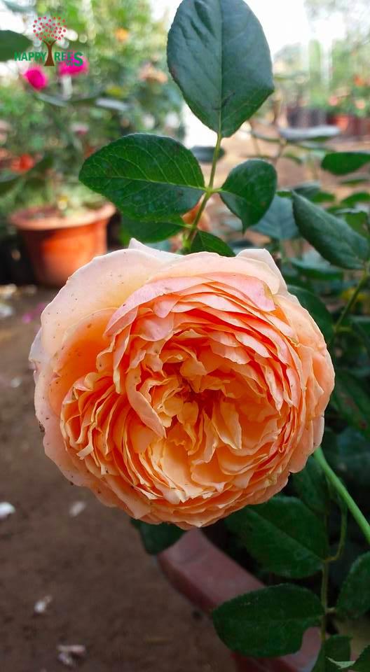 ảnh hoa hồng giấy