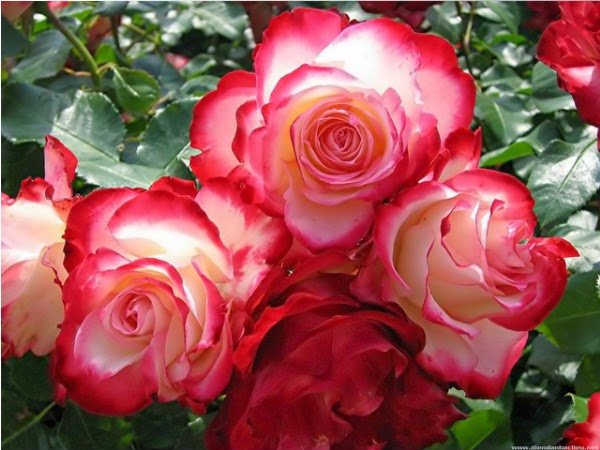 ảnh hoa hồng đẹp tặng người yêu