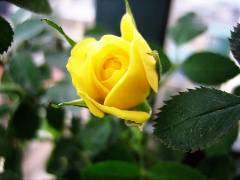 ảnh hoa hồng leo