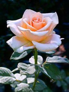 ảnh hoa hồng hoạt hình