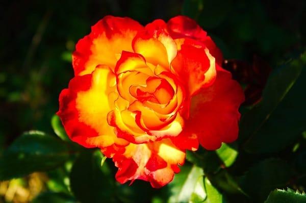 ảnh hoa hồng xăm