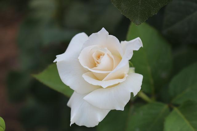 album ảnh hoa hồng