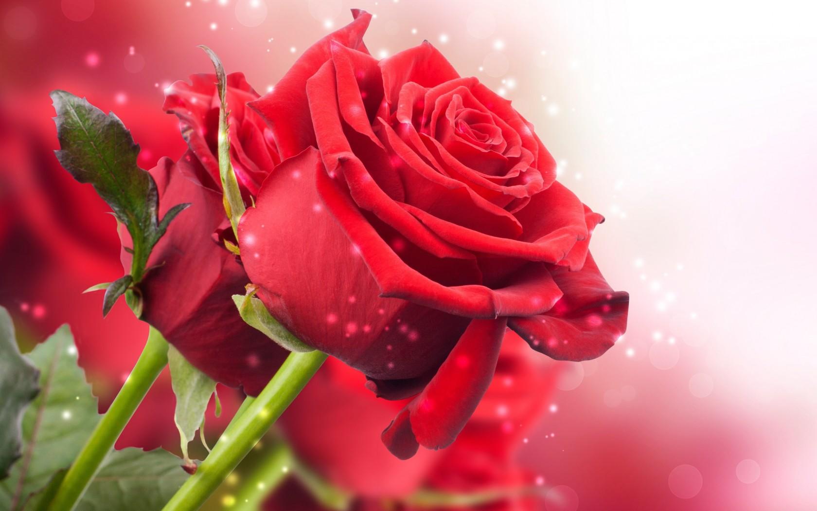 ảnh nền hoa hồng iphone