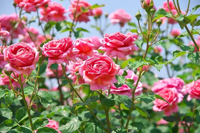 ảnh hoa hồng khô