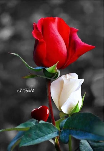 hình ảnh hoa hồng phấn