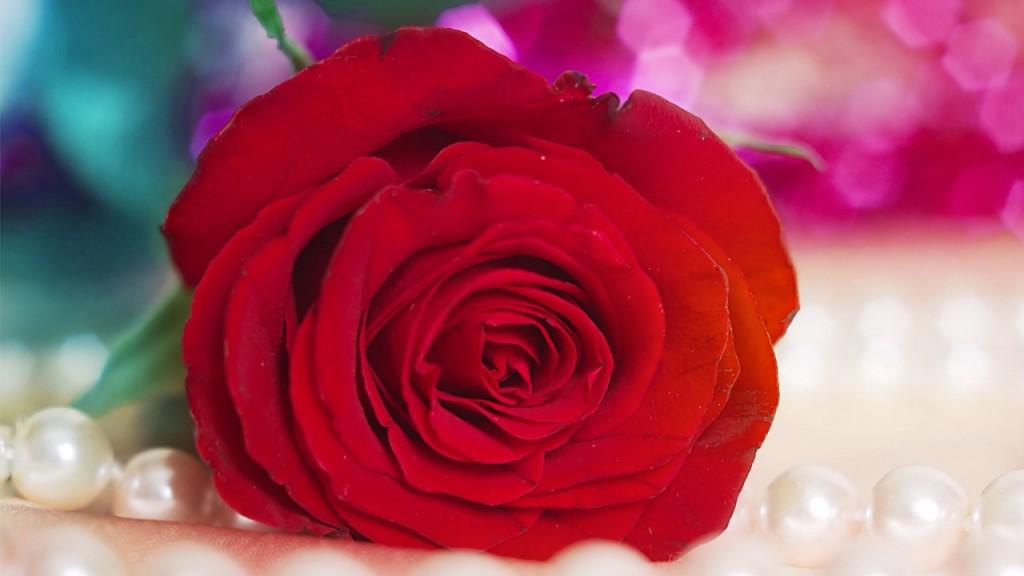 hình ảnh cánh hoa hồng rơi