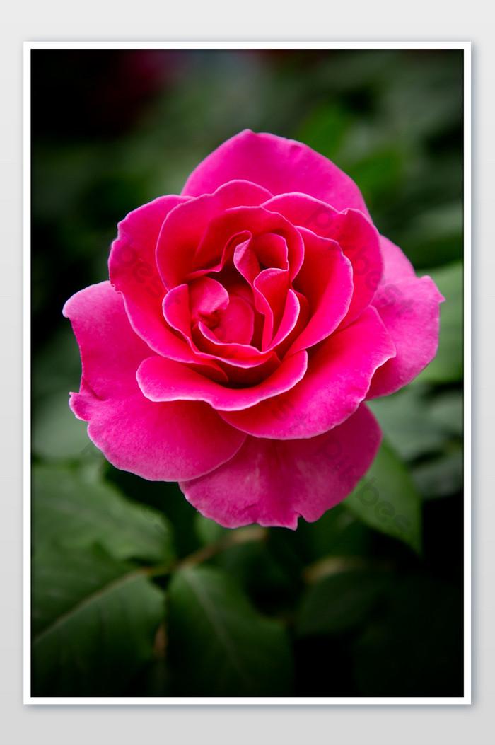 ảnh hoa hồng gai