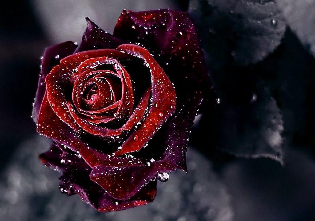 ảnh nhiều hoa hồng