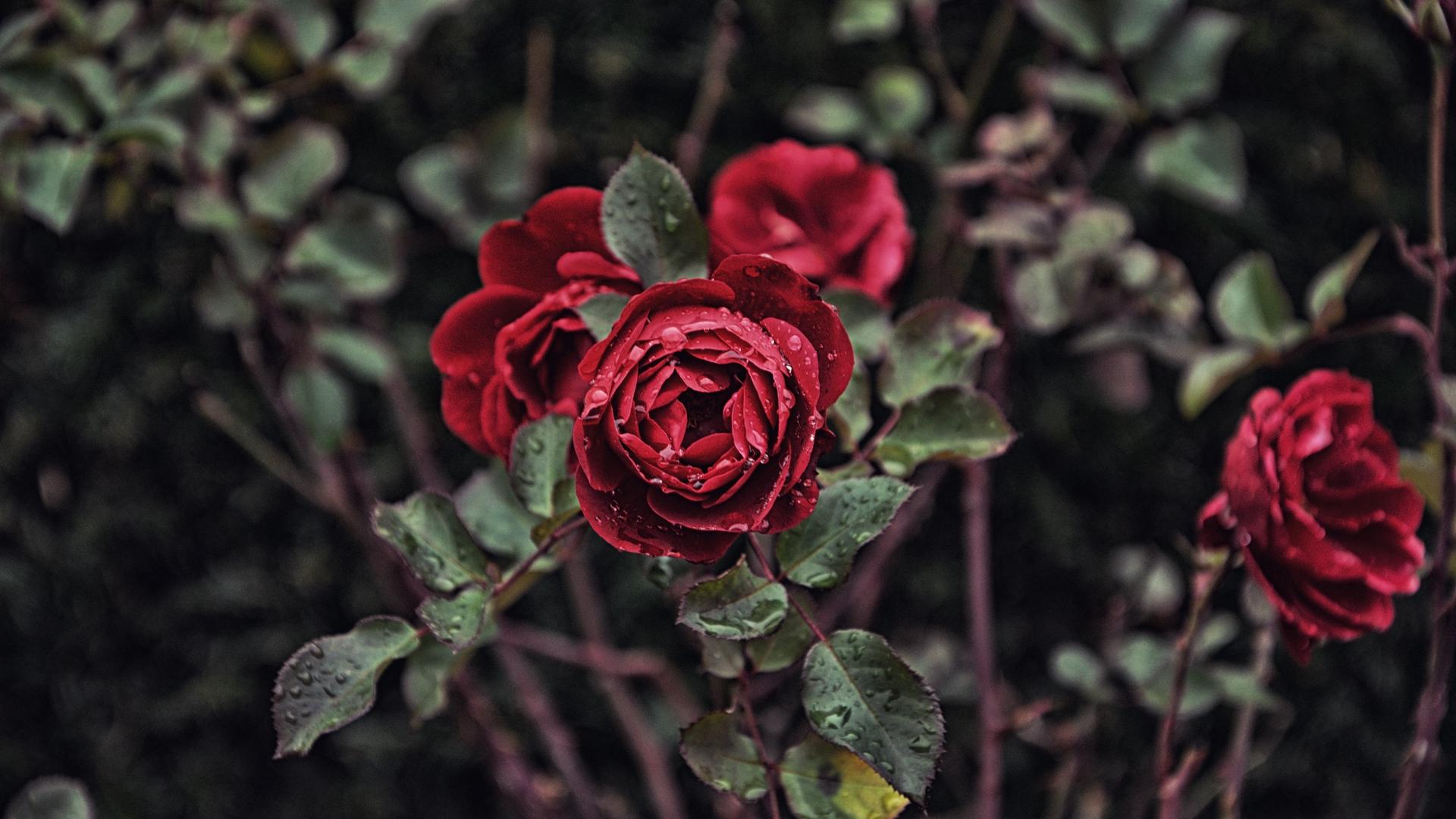 hình ảnh hoa hồng dong