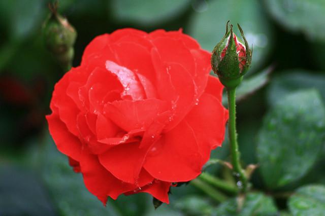 ảnh hoa hồng vẽ tay