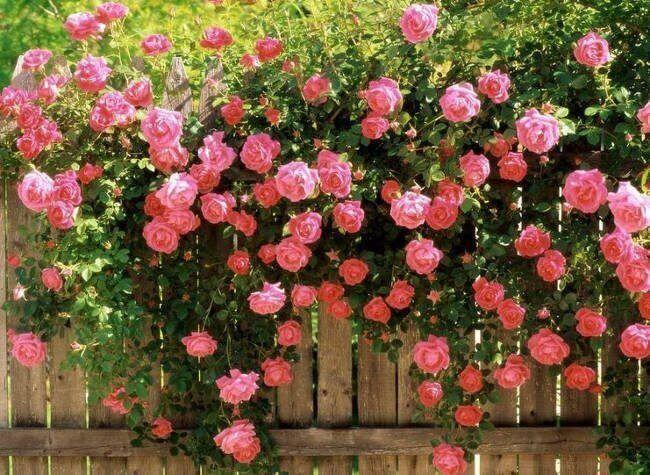 ảnh hoa hồng rơi