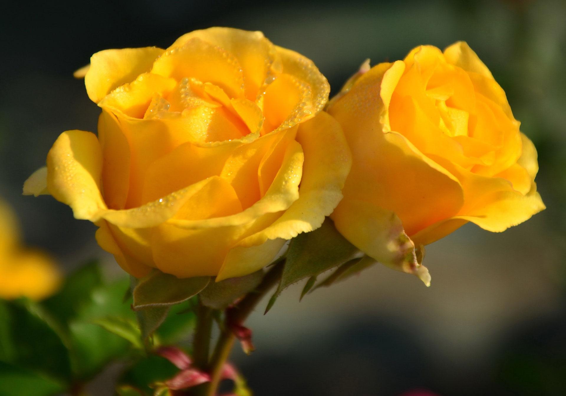 hình ảnh 99 đóa hoa hồng
