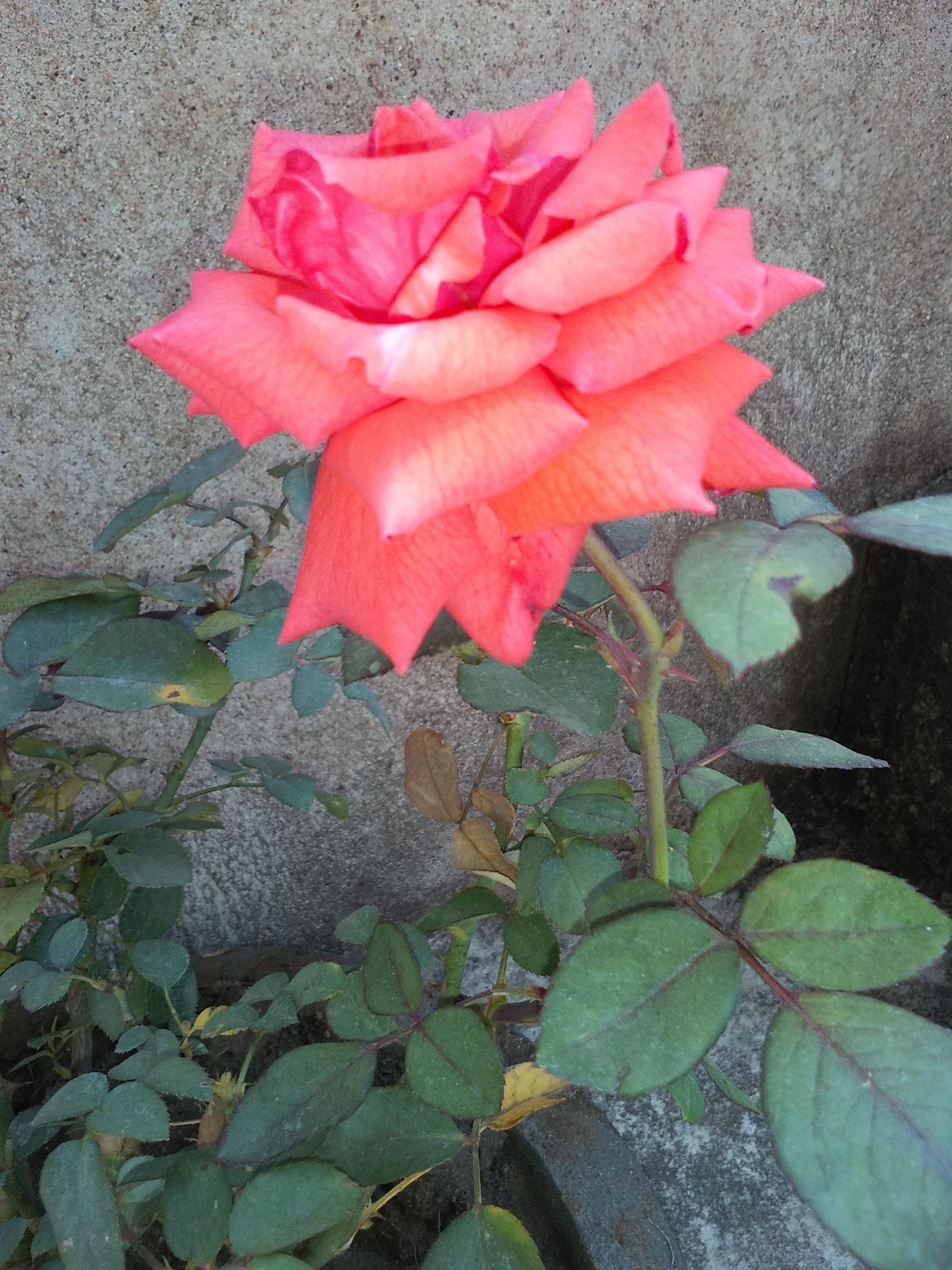 hình ảnh hoa hồng vàng