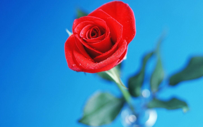 ảnh hoa hồng và tiền