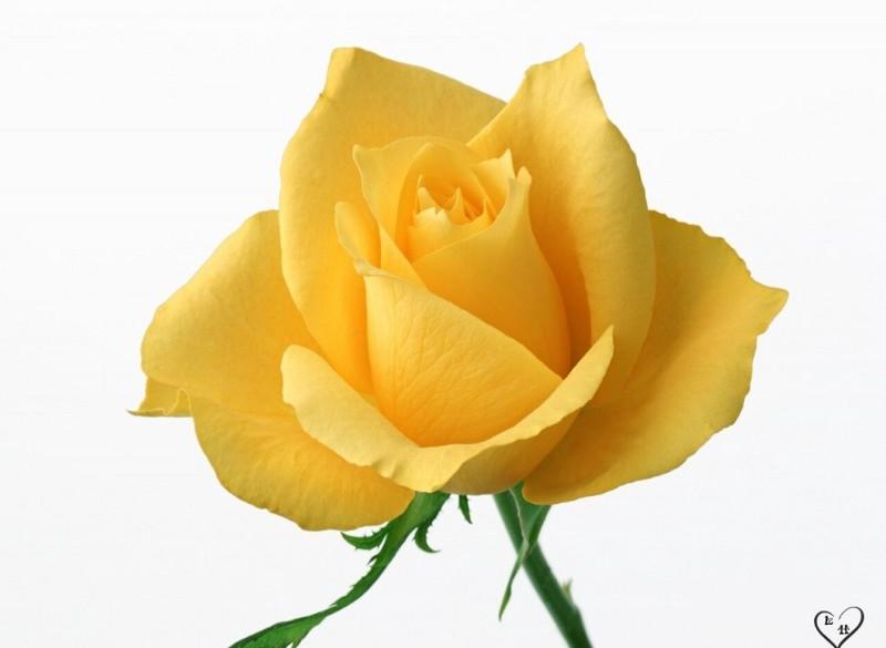 ảnh hoa hồng đen