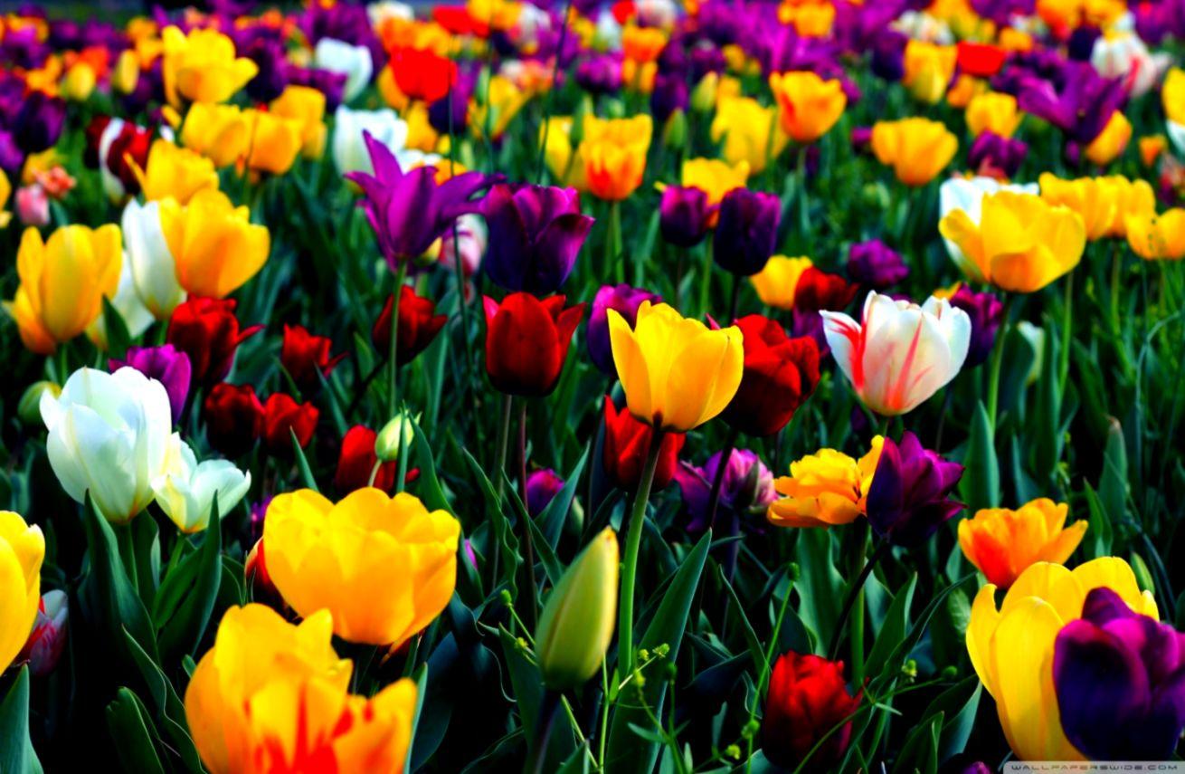 cảnh mùa xuân soạn