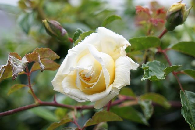 hoa hồng đỏ hoa hồng trắng