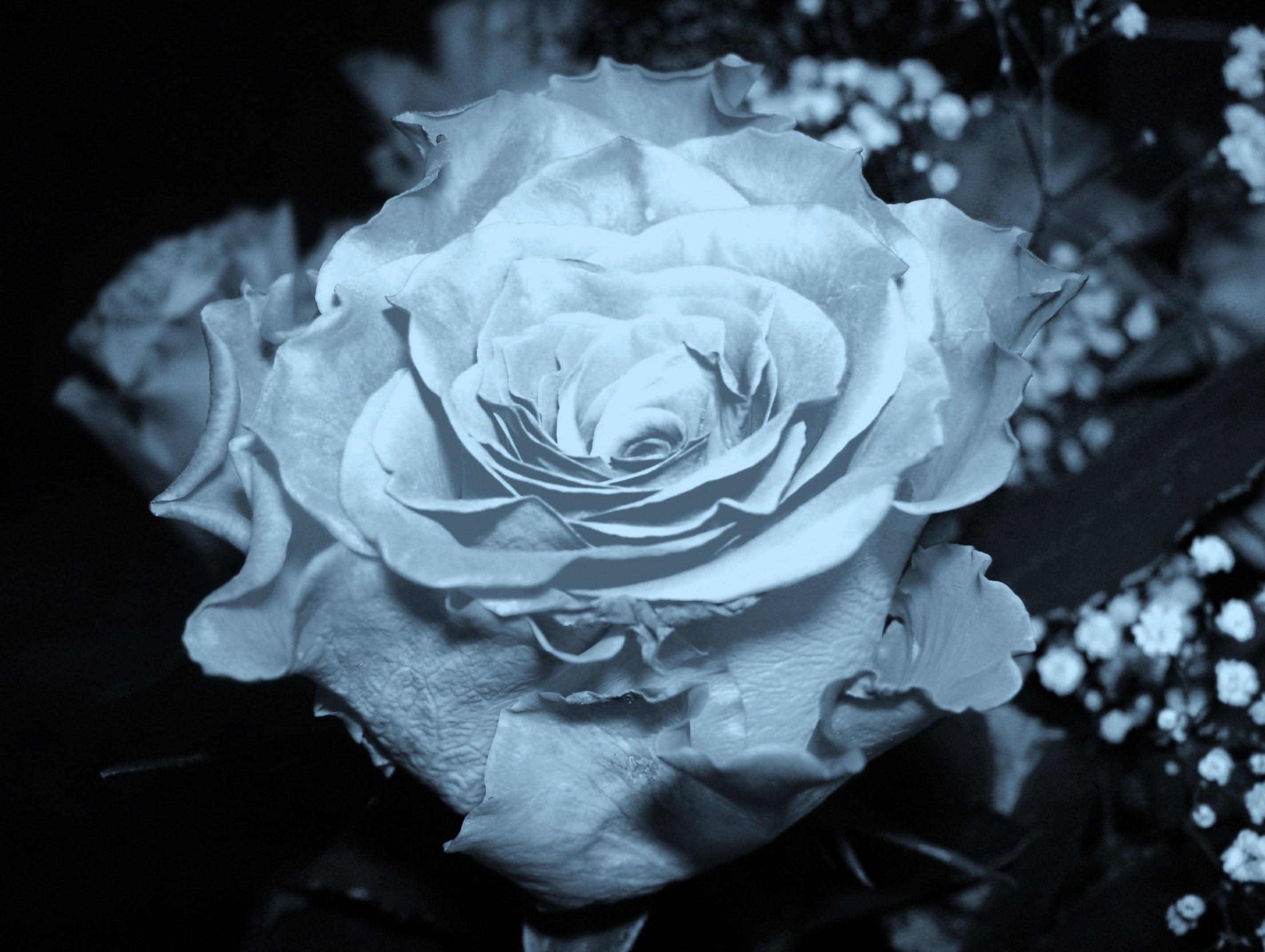 avatar hoa hồng