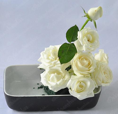 hình ảnh hoa hồng trắng