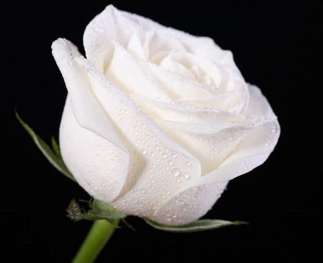 hoa hồng trắng đám tang