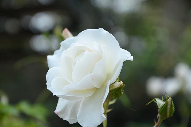 hoa hồng trắng cài áo