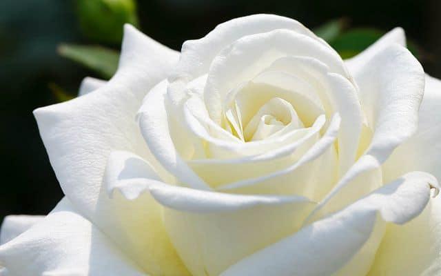 hồng trắng