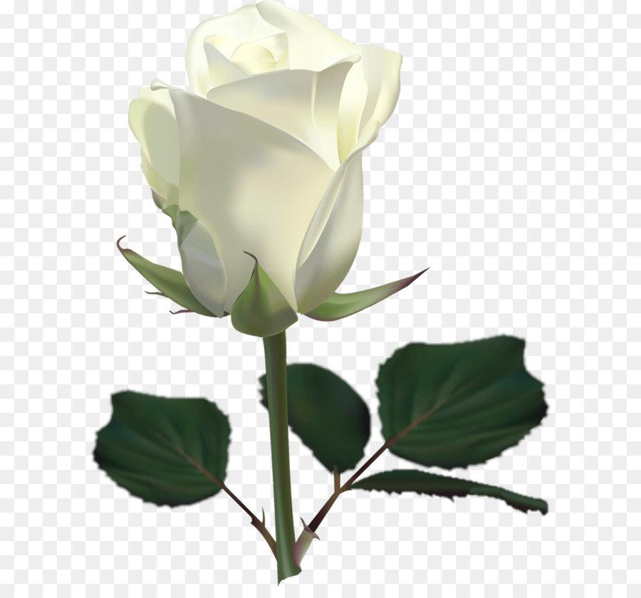 hoa hong trắng