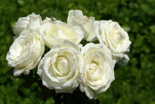 hoa hồng trắng ý nghĩa