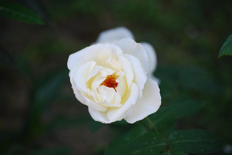 hoa hông trắng