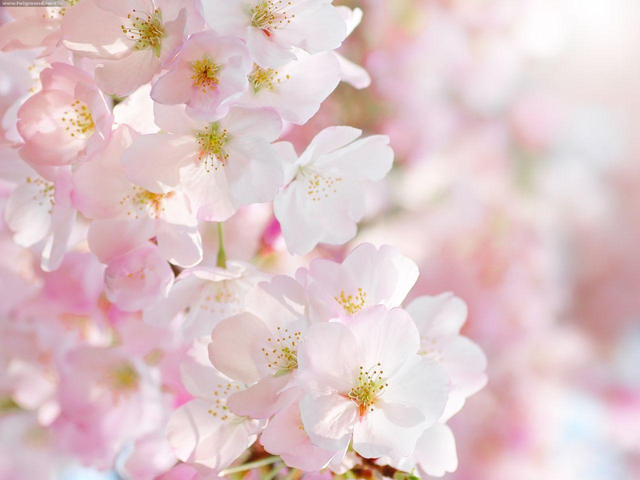 hình ảnh hoa muồng anh đào