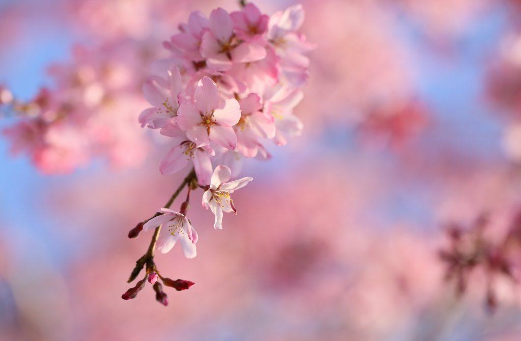 ảnh vườn hoa anh đào