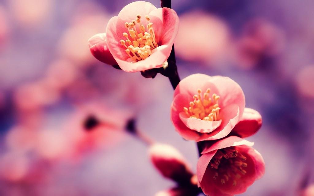 ảnh airi hoa anh đào