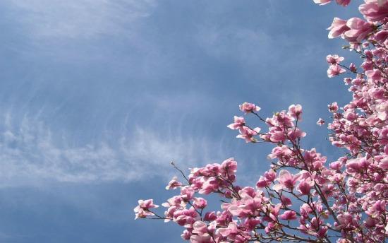 hình ảnh hoa anh đào dep