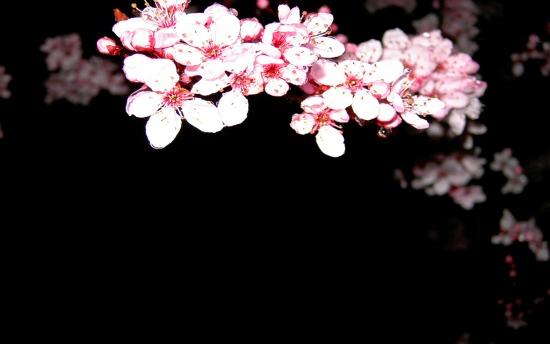 download hình ảnh hoa anh đào