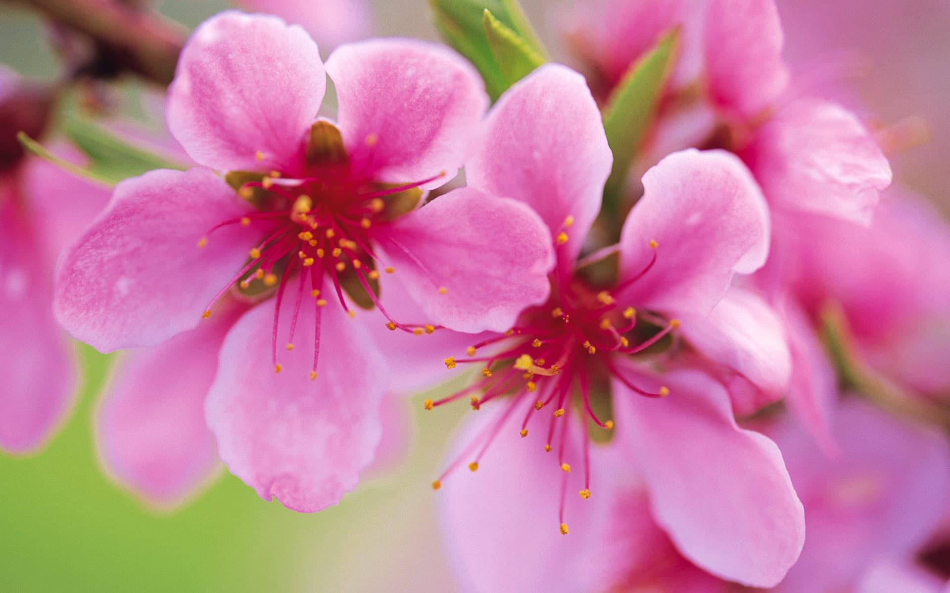 chụp ảnh hoa anh đào đẹp